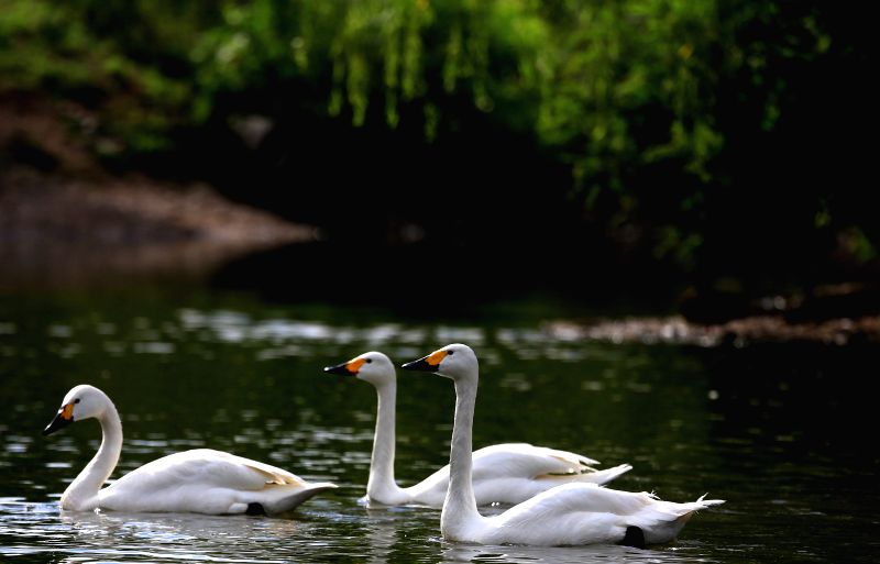 Three swans swim in a lake within the Bird Island Wildlife Park in Shenyang, capital of northeast China's Liaoning Province, July 9, 2014. (Xinhua/Yao ...