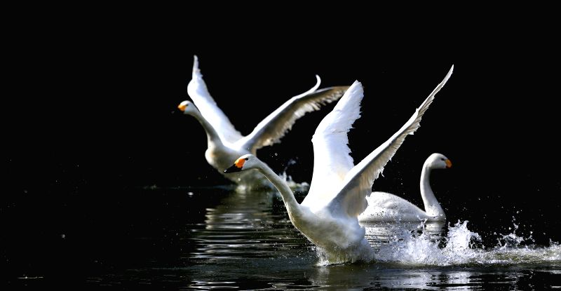 Two swans stretch their wings in a lake within the Bird Island Wildlife Park in Shenyang, capital of northeast China's Liaoning Province, July 9, 2014. (Xinhua/Yao .