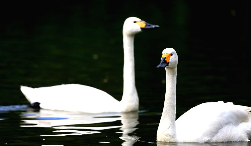 Two swans swim in a lake within the Bird Island Wildlife Park in Shenyang, capital of northeast China's Liaoning Province, July 9, 2014.  .