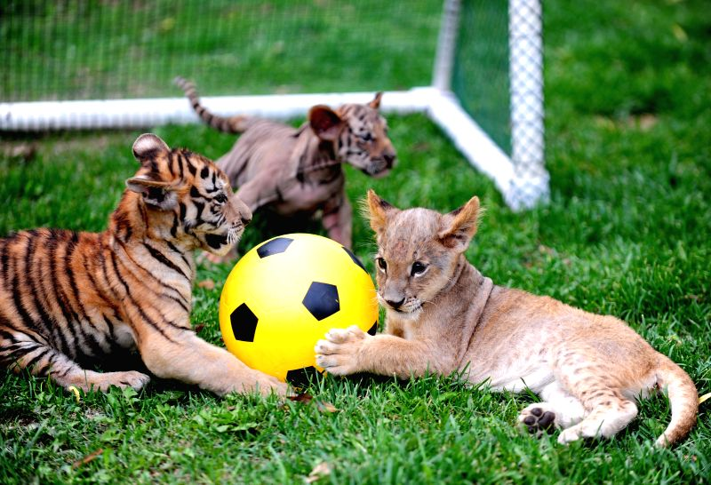 "Tiger and lion cubs compete in a ""soccer game"" at Guaipo Siberian Tiger Park in Shenyang, capital of northeast China's Liaoning Province, June 21, 2014. ."