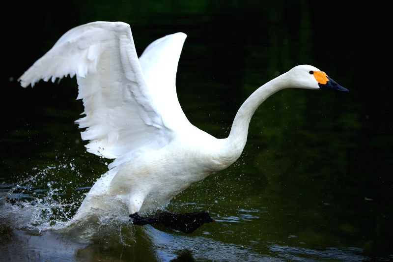 A swan prepares to fly from a lake at the Bird Islands Forestry Park in Shenyang, capital of northeast China's Liaoning Province, Sept. 4, 2014. (Xinhua/Yao ...