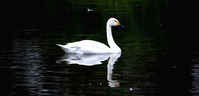 A swan swims in a lake within the Bird Islands Forestry Park in Shenyang, capital of northeast China's Liaoning Province, Sept. 4, 2014.
