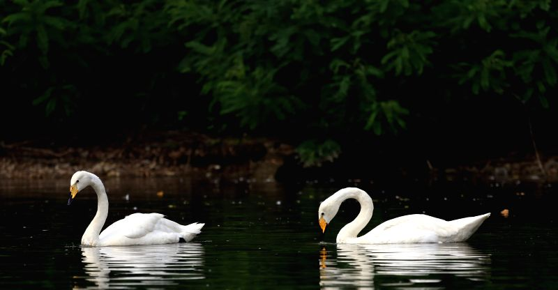 Two swans swim in a lake within the Bird Islands Forestry Park in Shenyang, capital of northeast China's Liaoning Province, Sept. 4, 2014. (Xinhua/Yao ...