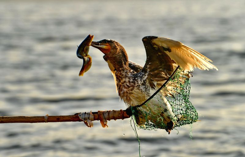 SHIJIAZHUANG, June 9, 2017 - Fisherman Zhou Shan takes up an osprey at Daheiting Reservoir in north China's Hebei Province, June 9, 2017. Zhou Shan is one of the few fishermen who stick to the ...