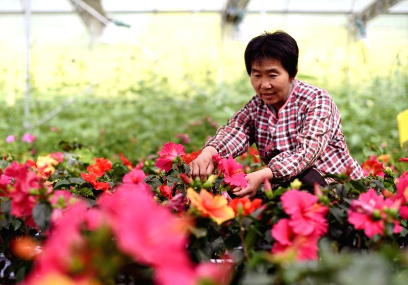 SHIJIAZHUANG, May 7, 2017 - A villager works at a greenhouse in Balizhuang Village of Zaoqiang County, north China's Hebei Province, May 6, 2017.
