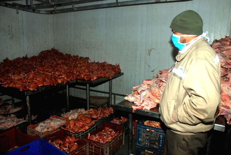 A doctor visits Municipal Corporation slaughter house in Shimla after more than 300 broilers, supplied from Haryana, were found dead on arrival at the slaughter house on Dec 26, 2014.