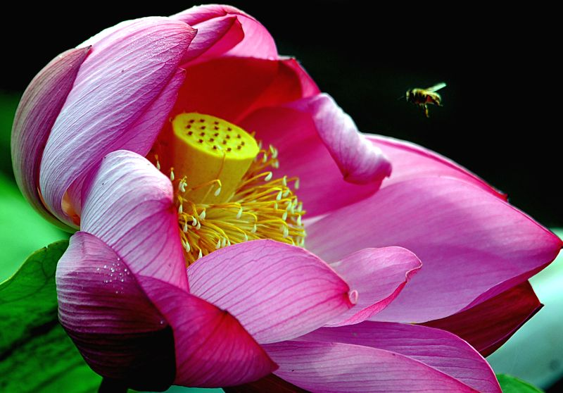 A bee flies over a blooming lotus flowerin Tangshu Village of Shucheng County, east China's Anhui Province, June 28, 2014.