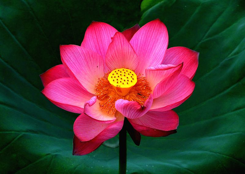 Photo taken on June 28, 2014 shows a lotus flower in blossom in Tangshu Village of Shucheng County, east China's Anhui Province.