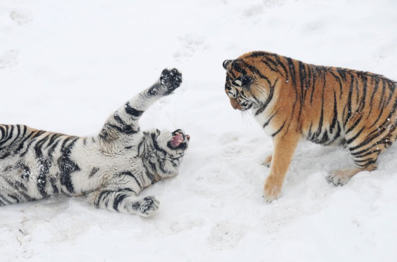Siberian tigers are seen at the Siberian tiger zoo in Hailin, northeast China's Heilongjiang Province, Dec. 10, 2015. The facility, the world's largest Siberian ...