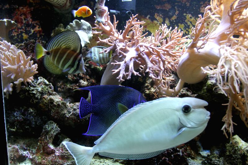 Tropical fish swim in a aquarium at Fiji's Kula Eco Park on April 18, 2014. Founded in 1997, Kula Eco Park, a 11- hectare property set in three valleys, is home ..