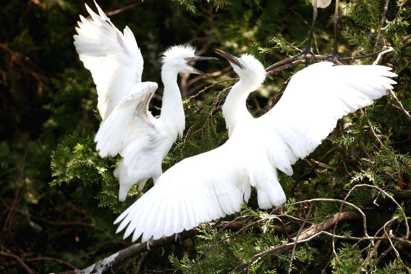 SIHONG, July 12, 2018 - Egrets are seen at the Hongze Lake wetland in Sihong County, east China's Jiangsu Province, July 11, 2018.