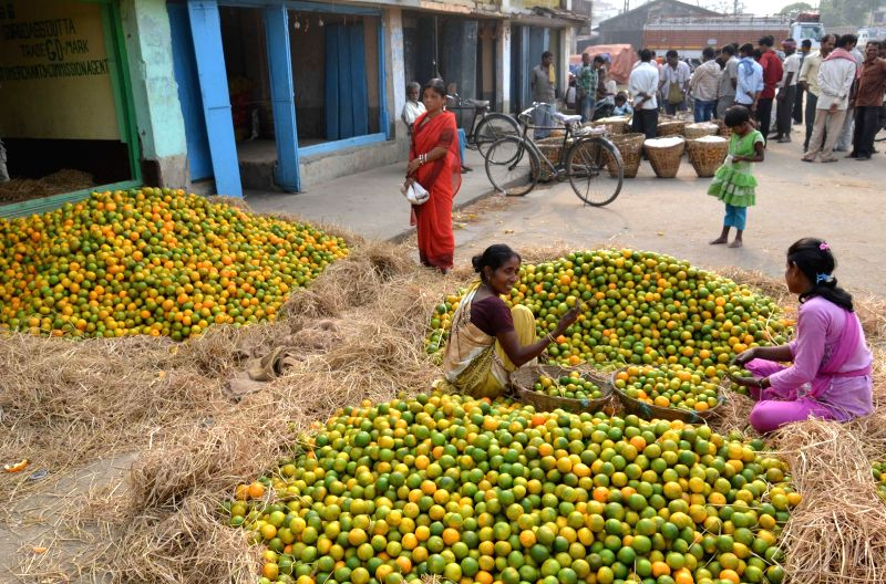 Women sort out oranges at Siliguri Regulated Market in Siliguri of West Bengal on Dec 1, 2014.