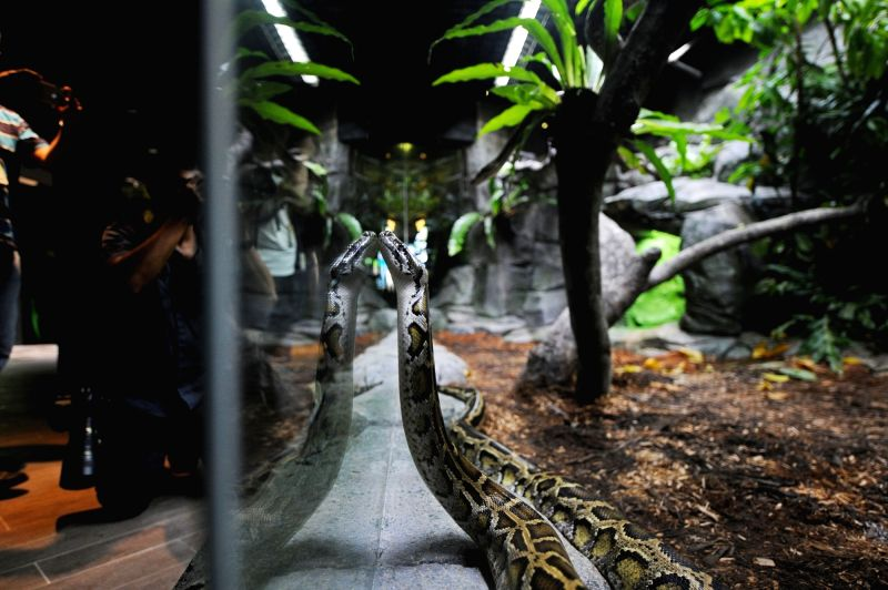 SINGAPORE, May 24, 2017 - A reticulated python is exhibited at the revamped reptile exhibit at the Singapore Zoo on May 24, 2017. The Singapore Zoo held a media preview on Wednesday and invited a ...