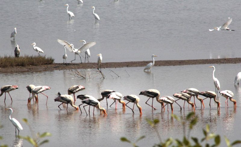 A flock of flamingoes spotted at Siridao, Goa. (Photo :IANS)