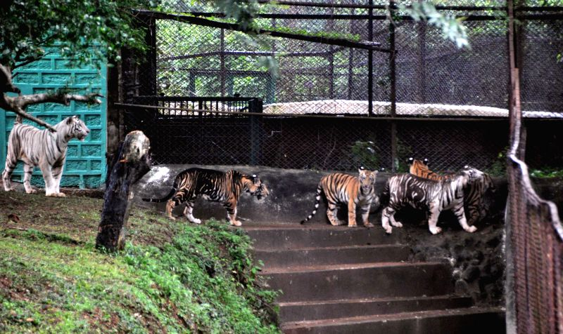 Sneha, a female white Royal Bengal Tiger with her cubs at Nandankanan Zoo in Bhubaneswar on July 28, 2015.