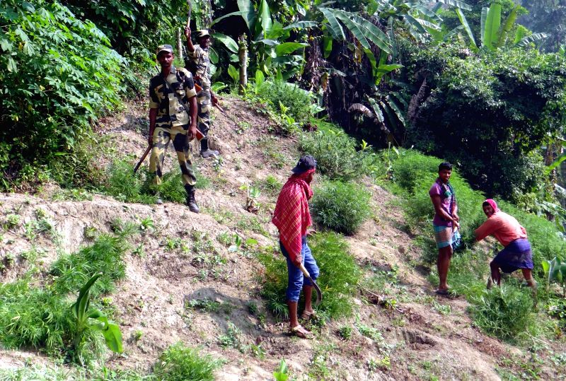 Ganja (marijuana) plants being destroyed under the supervision of BSF personnel in Sonamura subdivision of Tripura's Sepahijala district on Nov 28, 2014.
