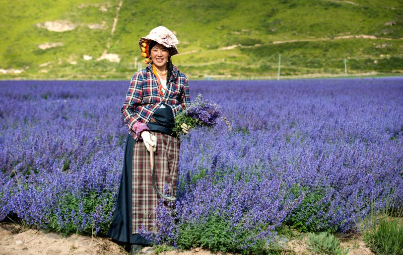 A local villager reaps lavender in Chuanzhusi Town of Songpan County, southwest China's Sichuan Province, Sept. 3, 2014.