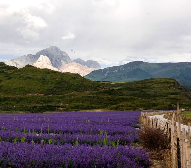 Photo taken on Spet. 3, 2014 shows lavender fields in Chuanzhusi Town of Songpan County, southwest China's Sichuan Province.