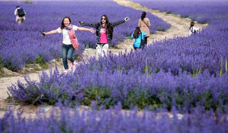 Tourists enjoy themselves among lavender in Chuanzhusi Town of Songpan County, southwest China's Sichuan Province, Sept. 3, 2014.