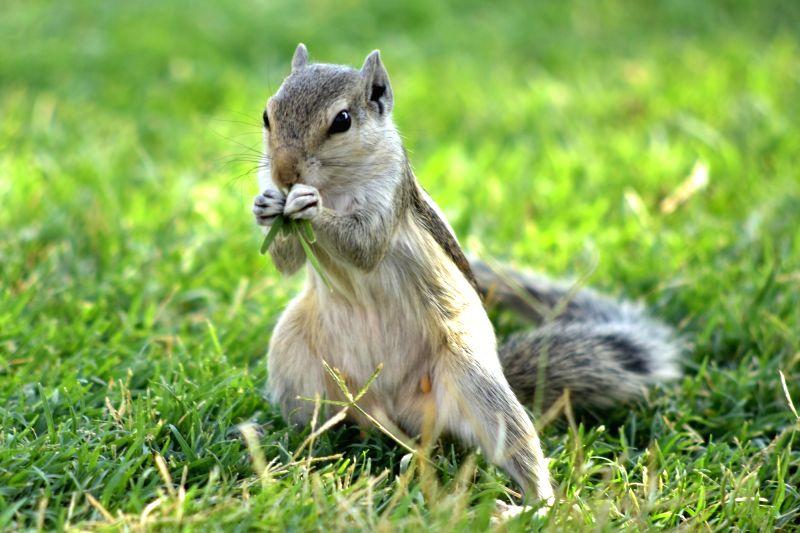 Squirrel. (File Photo: Ravi Shankar Vyas/IANS)