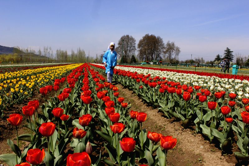 A view of the Tulip Garden in Srinagar, on April 6, 2015.