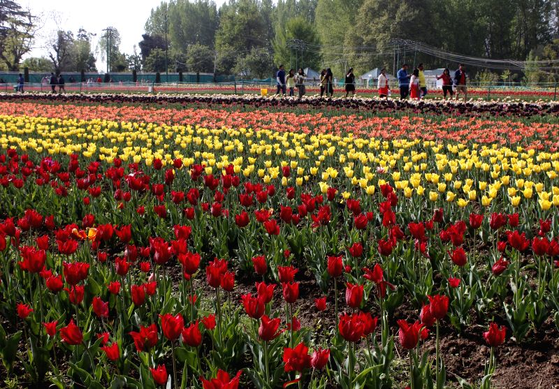 A view of the Tulip Garden in Srinagar, on April 22, 2015.