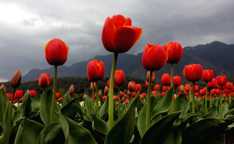 A view of Tulip Flowers at Tulip Garden in Cheshmashahi, Srinagar, on April 4, 2015.