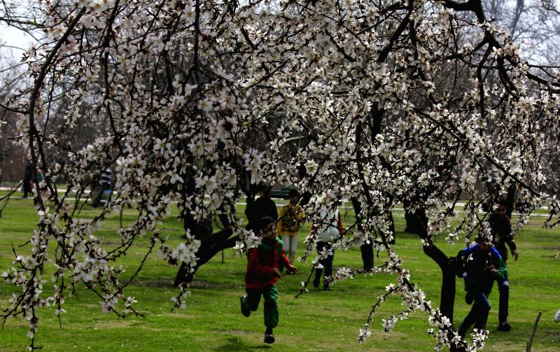 Fully blossomed almond tress at the historical Badamwari Garden located in Old City of Srinagar.