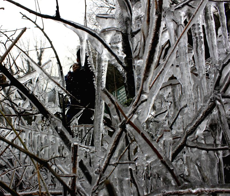 Icicles form on plants during Chillai Kalan outside Dachigam National Park in Srinagar on Dec 31, 2014.