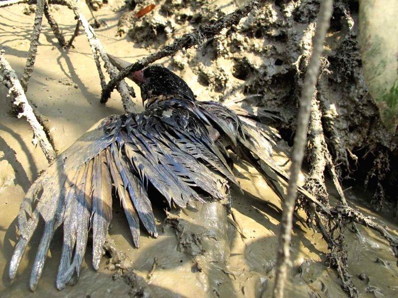 A bird is covered in oil on the Shela River after an oil-tanker capsized near Sundarbans mangrove forest in Bangladesh, on Dec. 14, 2014. An Irrawaddy dolphin's body has been discovered ..