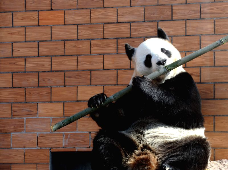 """The """"fluting"""" gesture of a giant panda as it eats bamboo attracts visitors' attention at a park in Suzhou, east China's Jiangsu Province, Jan. 1, 2015. ..."""