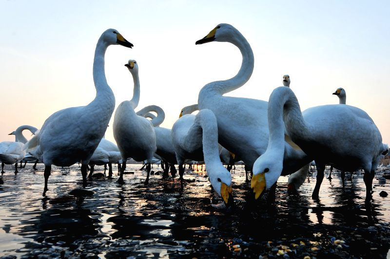 Swans are seen in a lake in Yandunjiao Village of Rongcheng City, east China's Shandong Province, Dec. 8, 2015. Rongcheng nature reserve has become a nest for ...