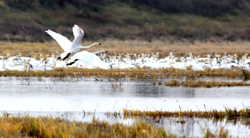 Swans fly over the Poyang Lake in Yangqiaodian Township of Dongxiang County, east China's Jiangxi Province, Dec. 3, 2015. The Poyang Lake, China's largest freshwater ...