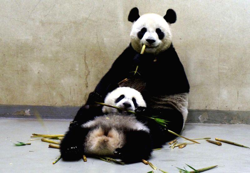 Giant panda cub Yuan Zai eats bamboo shoots in the arms of her mother Yuan Yuan at Taipei Zoo, southeast China's Taiwan, April 24, 2014.  ...