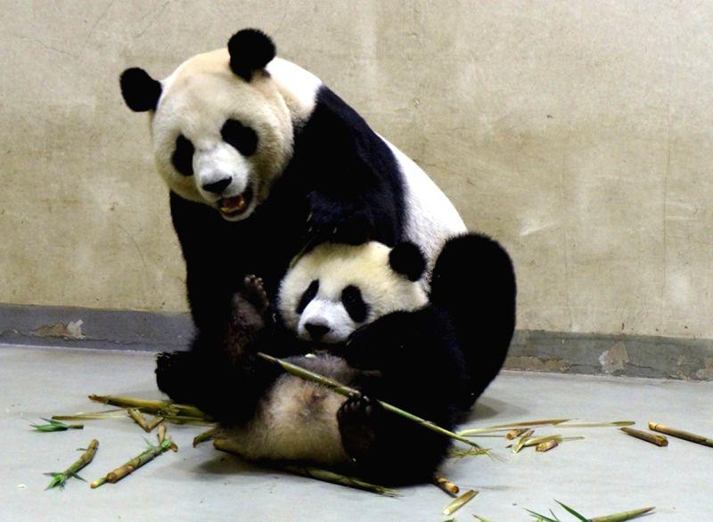 Giant panda cub Yuan Zai learns to eat bamboo shoots under guidance of her mother Yuan Yuan at Taipei Zoo, southeast China's Taiwan, April 24, 2014. (Xinhua/Taipei .