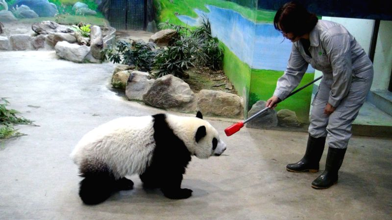 """Giant panda """"Yuanzai""""  follows a stick at the Taipei Zoo in Taipei, southeast China's Taiwan, Aug. 12, 2014. It has become harder for zoo breeders to carry"""