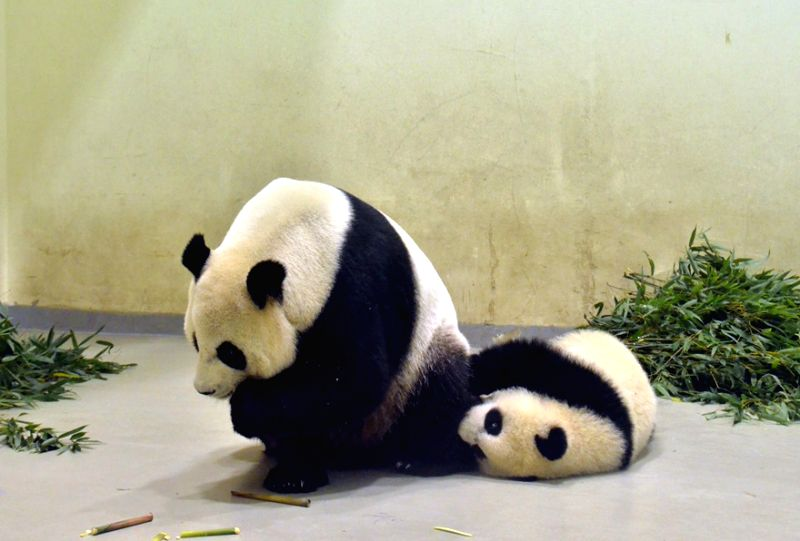 Giant panda cub Yuan Zai (R) plays with her mother Yuan Yuan at Taipei Zoo in Taipei, south China's Taiwan, May 8, 2014.