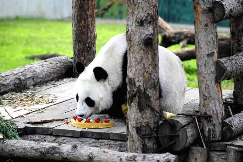 Giant panda Huchun enjoys her birthday meal at Taiyuan Zoo in Taiyuan, capital of north China's Shanxi Province, Aug. 2, 2014. Saturday is the fourth birthday of the