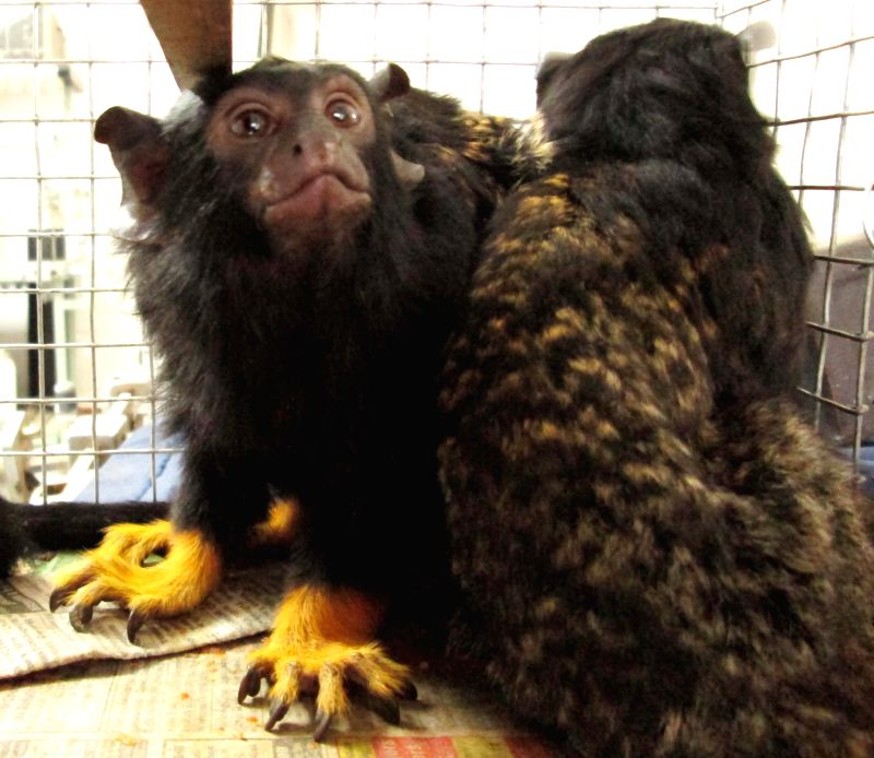 Tamarin Monkeys from South America arrive in Hyderabad  on July 9, 2014. The monkeys are a gift to Nehru Zoological Park from Gujarat State Petroleum Corporation (GSPC).