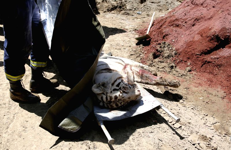 A killed white tiger lies on a stretcher in Tbilisi, Georgia, on June 17, 2015. A white tiger which escaped from a flooded zoo killed a man in central Tbilisi on ...