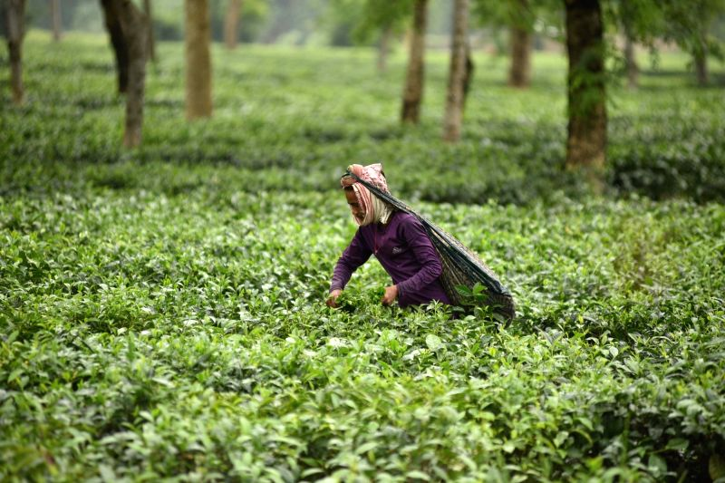 Tea garden. (File Photo: IANS)(Image Source: IANS News)