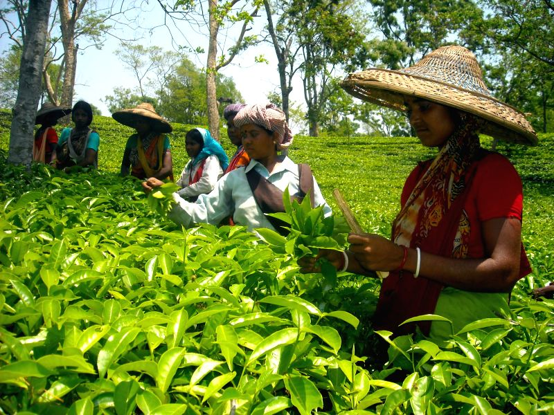 Tea garden workers busy plucking tea leaves at Durgabari Tea Estate in the outskirts of Agartala on May 11, 2014. The prolonged dry spell is pushing the tea industry towards crisis with tea planters .