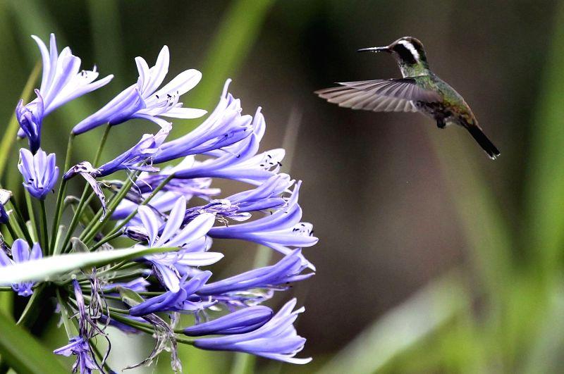 TEGUCIGALPA, June 6, 2017 - A hummingbird flies in La Tigra National Park, northwest of Tegucigalpa, Honduras, on June 5, 2017.