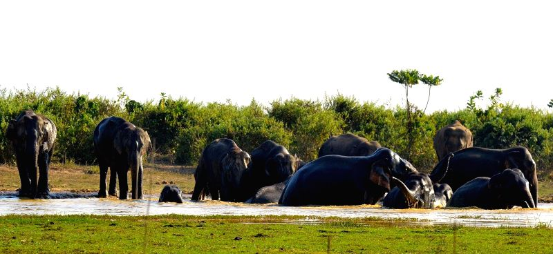 A heard of wild elephants enjoy themselves in a pond of Gogra Tea Estate in Tezpur on Dec 5, 2014.