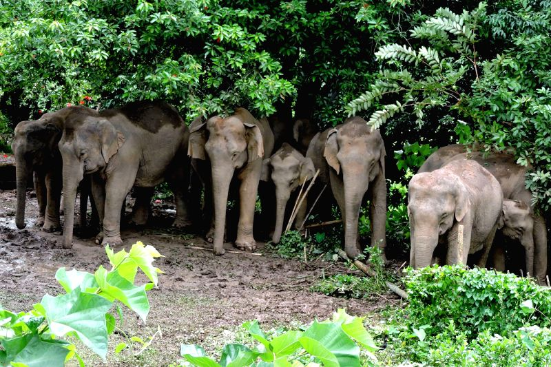 Tezpur: A herd of wild elephants create panic among residents in Tezpur of Sonitpur district, Assam on Sep 11, 2015.
