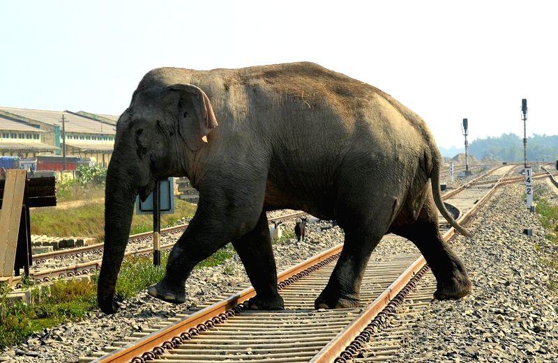 A wild elephant crosses a railway line at Bindukuri in Tezpur of Assam.