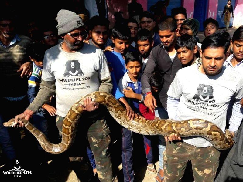 The 12-foot-long Rock python weighing 27 kg that created panic in Nahchani village of Uttar Pradesh's Agra district on Jan 12, 2018.