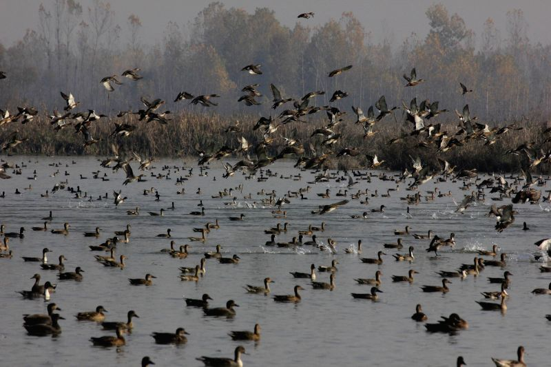 The birds were flying freely around the Migratory birds fly across a wetland in Hokersar srinagar of Jammu and Kashmir/Kamran Raashid Bhat/IANS