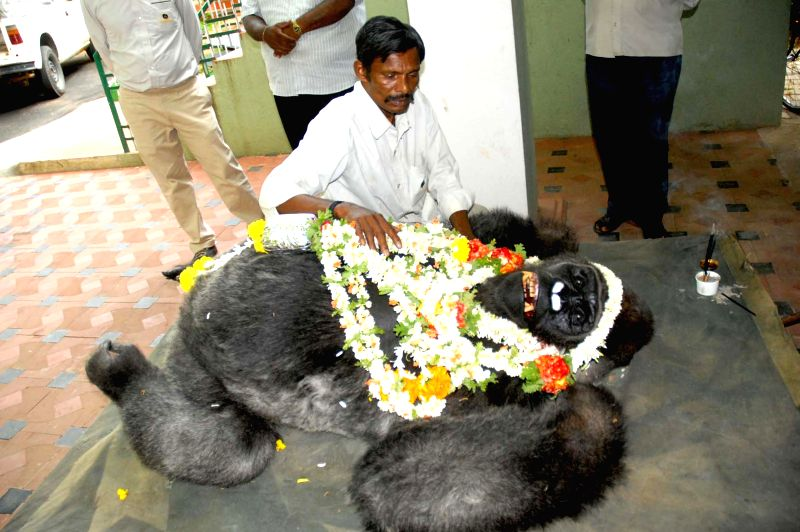 The body of Polo a 43-year-old Gorilla who died at Mysore Zoo due to respiratory problems in Mysore on April 27, 2014.