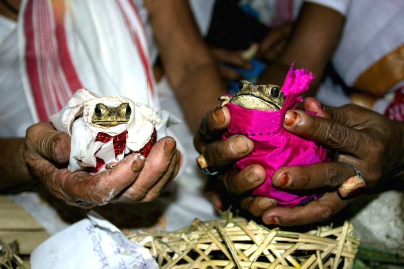 The bride and the groom - frogs during a unique marriage in Duliajan of Assam on May 4, 2014. Villagers conducted the marriage ceremony of the two frogs in traditional manner so as to please the rain